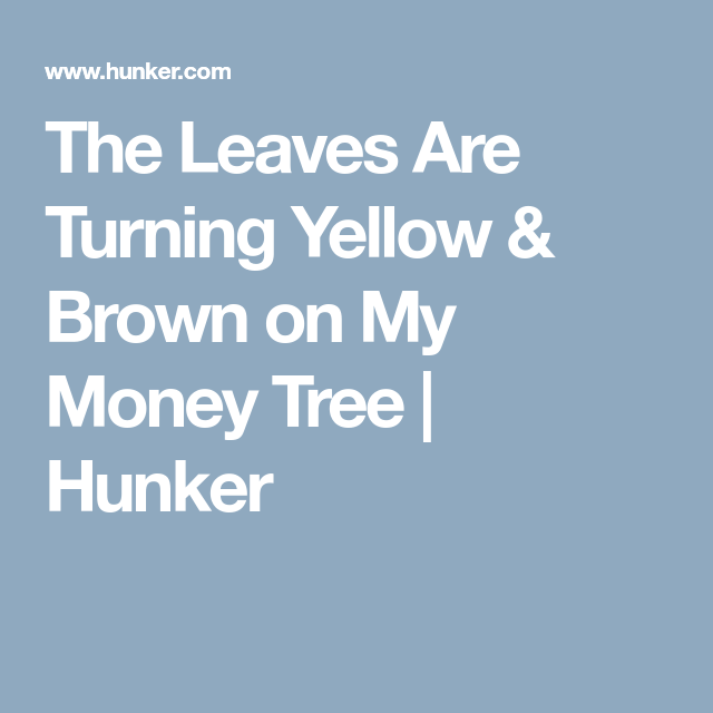The Leaves Are Turning Yellow Brown On My Money Tree Money Trees Money Tree Plant Plant Leaves Turning
