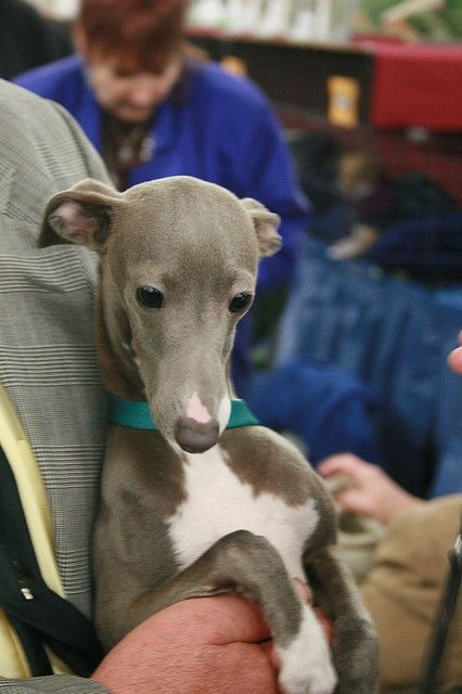 ~ Italian Greyhound Cuteness