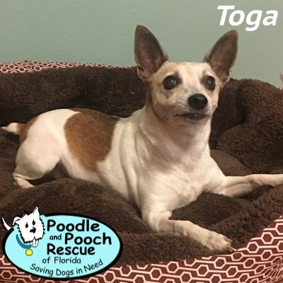Toga is a 7-year-old, 12-pound Rat Terrier girl. Poodle and Pooch Rescue - Adoptable Dogs - www.pprfl.org