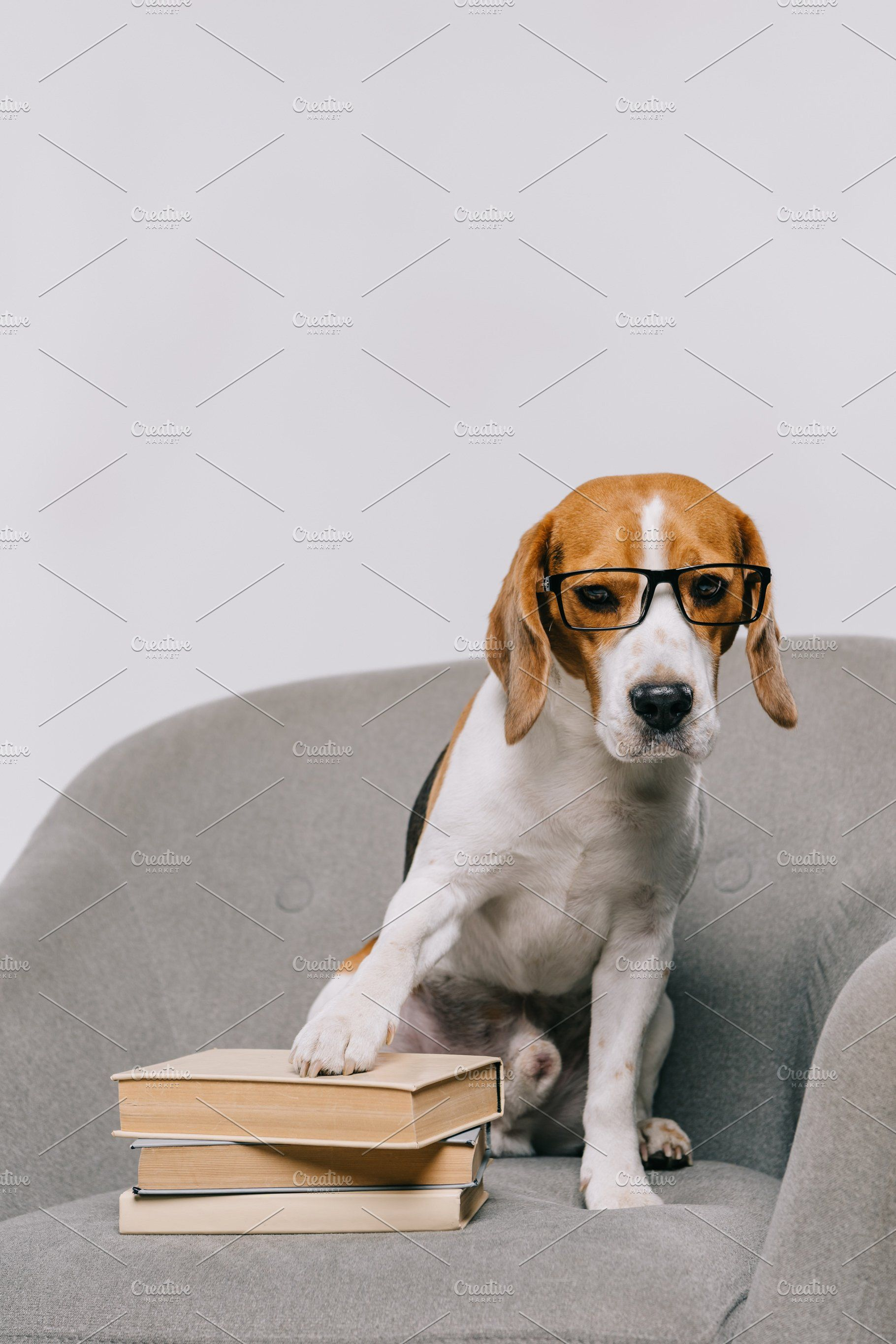Beagle Dog Beagle Dog For Sale Beagles For Sale Online Beagle Female For Sale Puppies For Sale Uk Pocket Beagle For Sale Bea Beagle Dog Beagle Dog With Glasses
