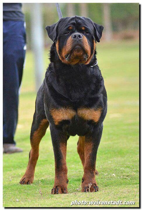 Best Looking Breed Of Dog In The World Dog Breeds Rottweiler