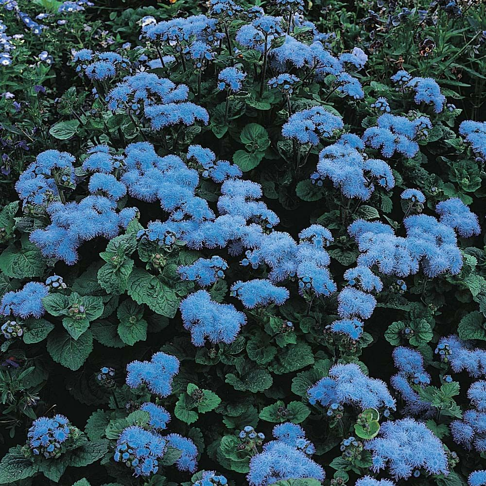Ageratum Houstonianum Blue Mink Half Hardy Annual Seeds Thompson Morgan Front Garden Oak Garden Or Crocker Side Blue Plants Purple Plants Plants
