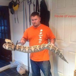 fat viper viper