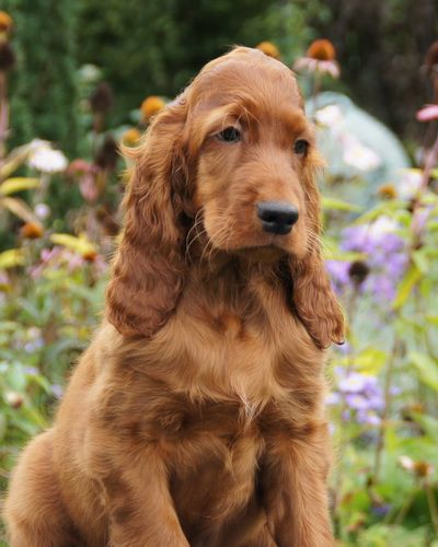 Setter pup Indiana