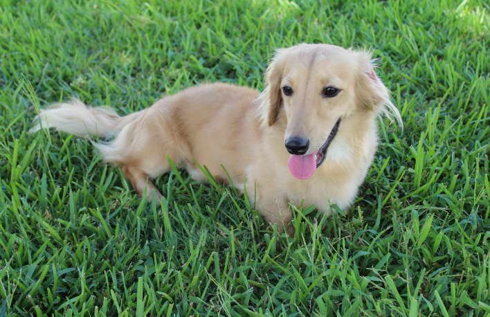Long Haired Dachshund Puppies for Sale in Texas