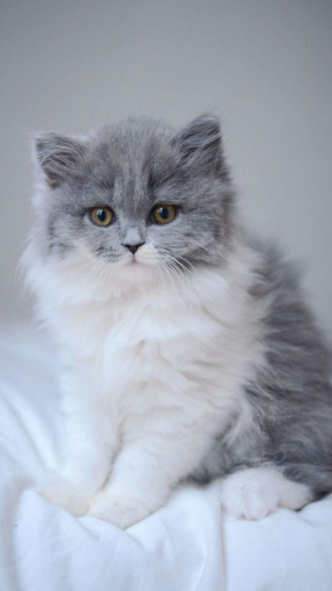 Pin By Deedee Shenold On Pisici Grey And White Kitten Kittens Cutest Fluffy Kittens