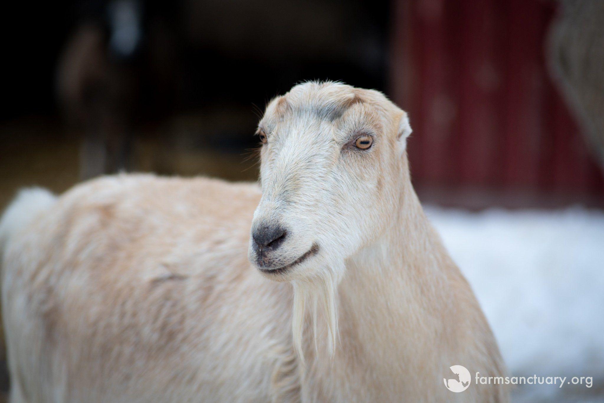 6 Sheep Treats Farm Animals Dtlp0nmwkaeg60w Large In