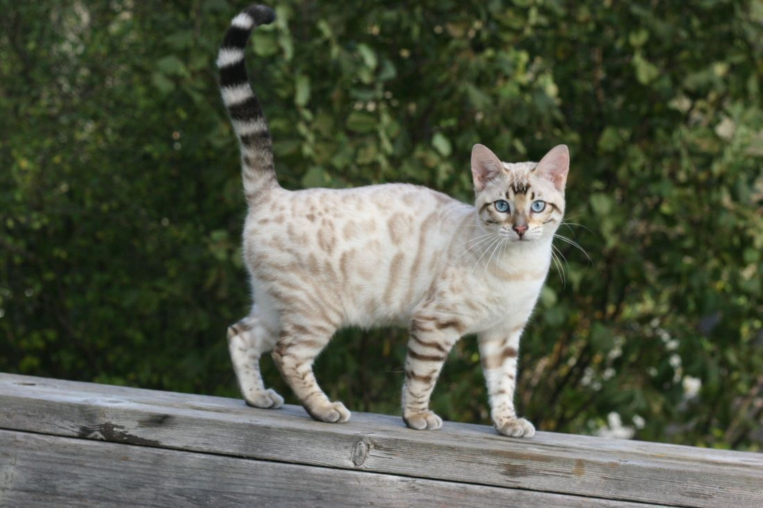 Pin By Belle Bower On Animals In 2020 Bengal Kitten Bengal Cat White Bengal Cat