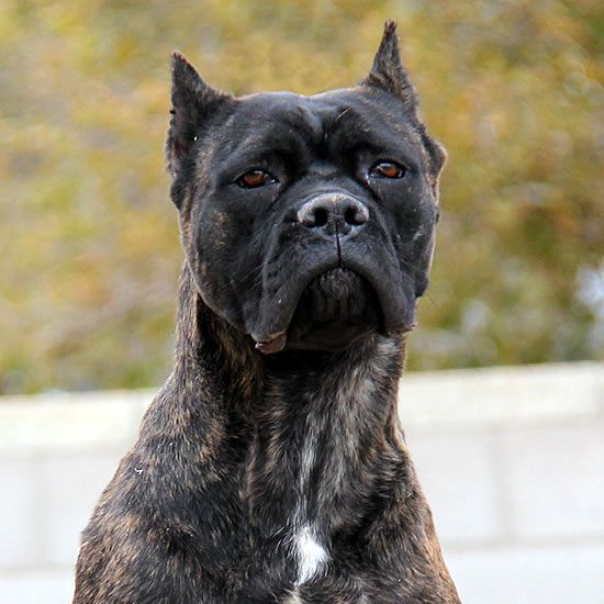About Time S Sueno De Angel Black Brindle Female 2 Year Old