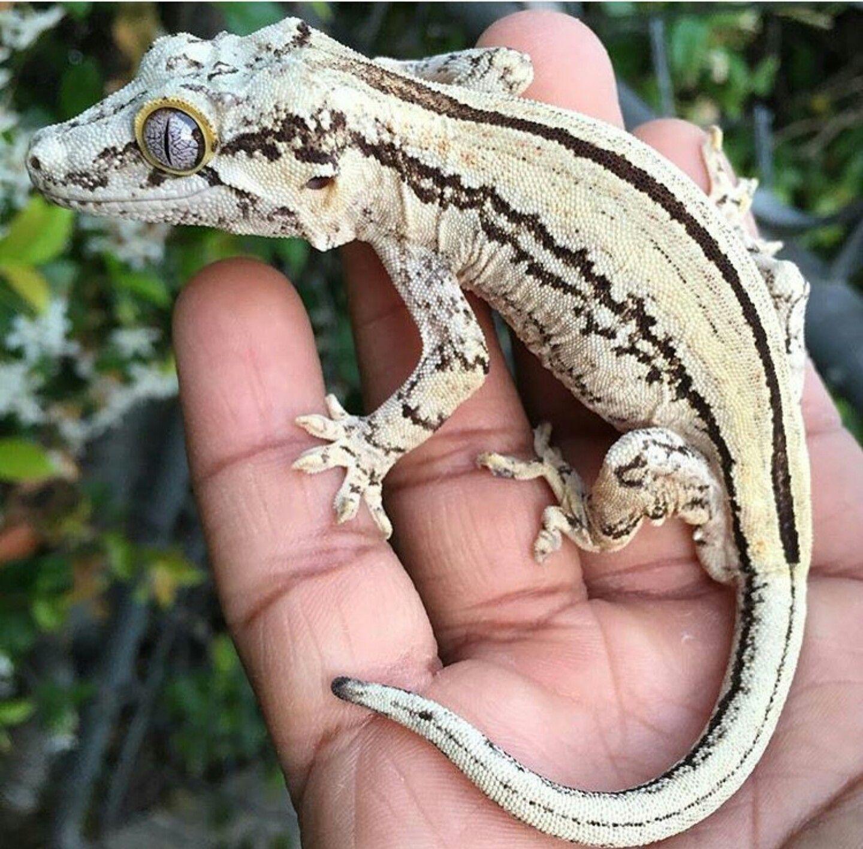 Gargoyle gecko animalspets pinterest geckos reptiles and lizards