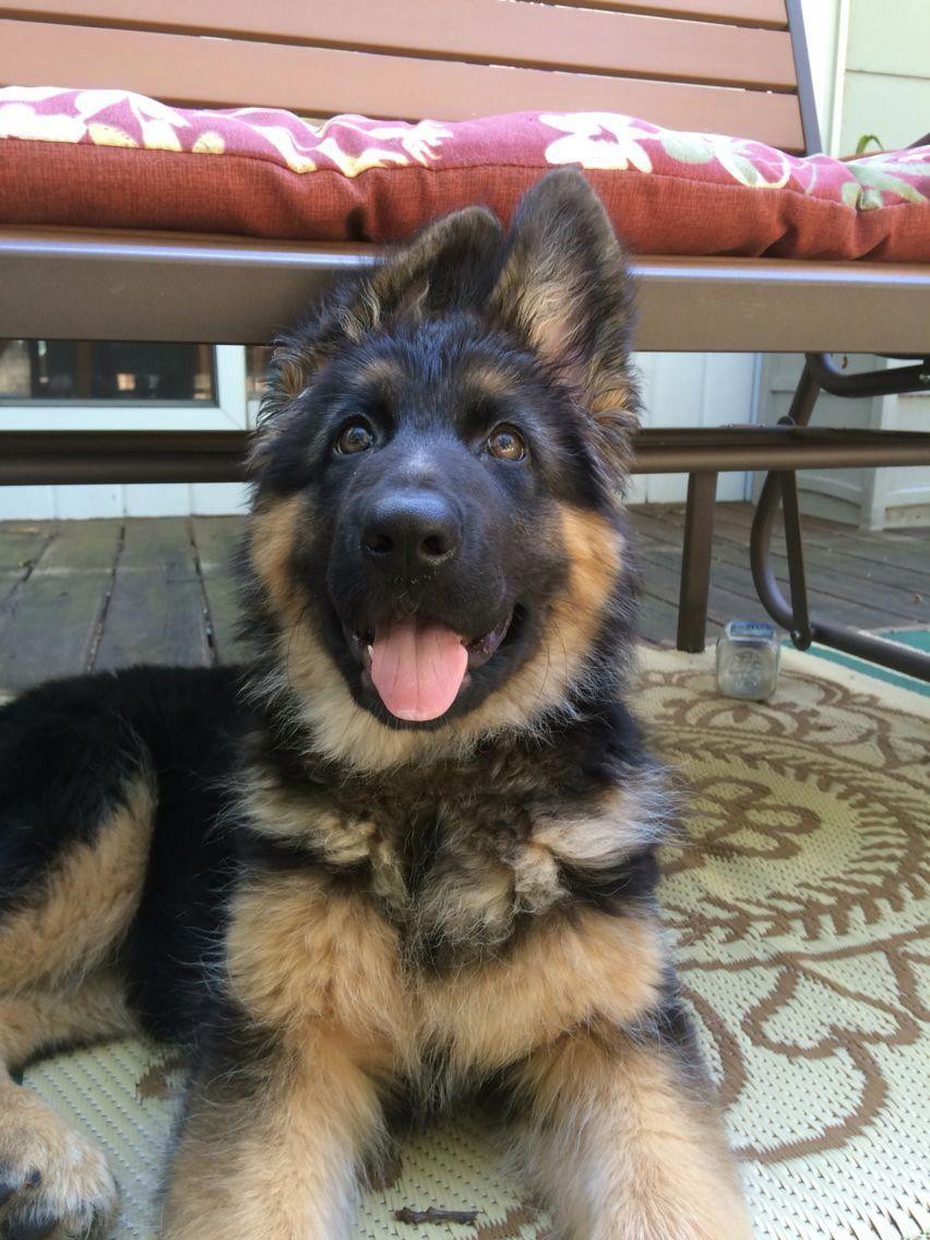 My sweet german shepherd pup! germanshepherdpups German