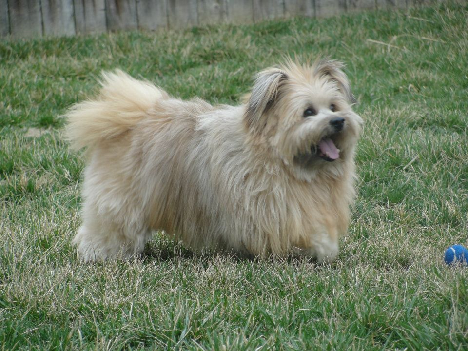 My Dog Cairn Terrier Pomeranian Mix Designer Dog