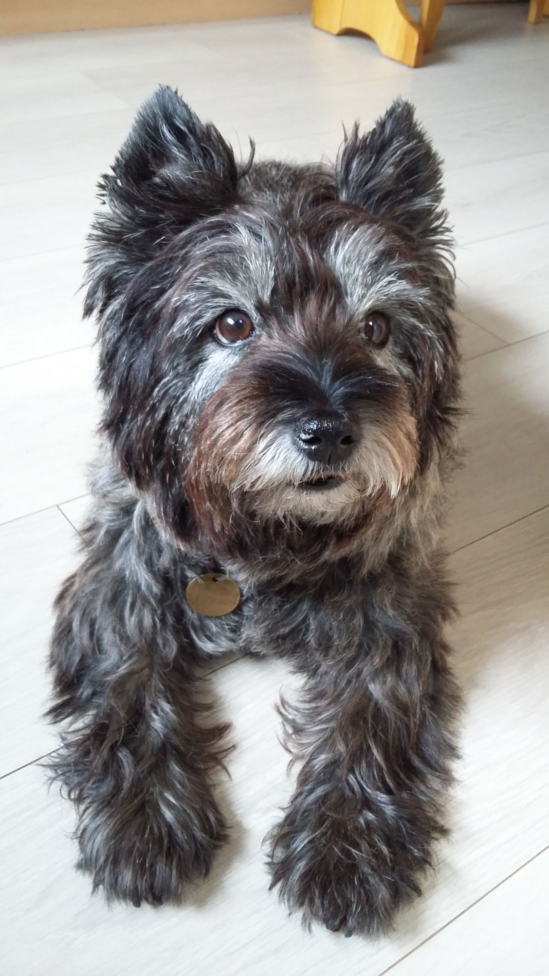 Lucy Surely The Most Beautiful Cairn Terrier Ever Cairn Terrier Terrier Cairn Terrier Puppies