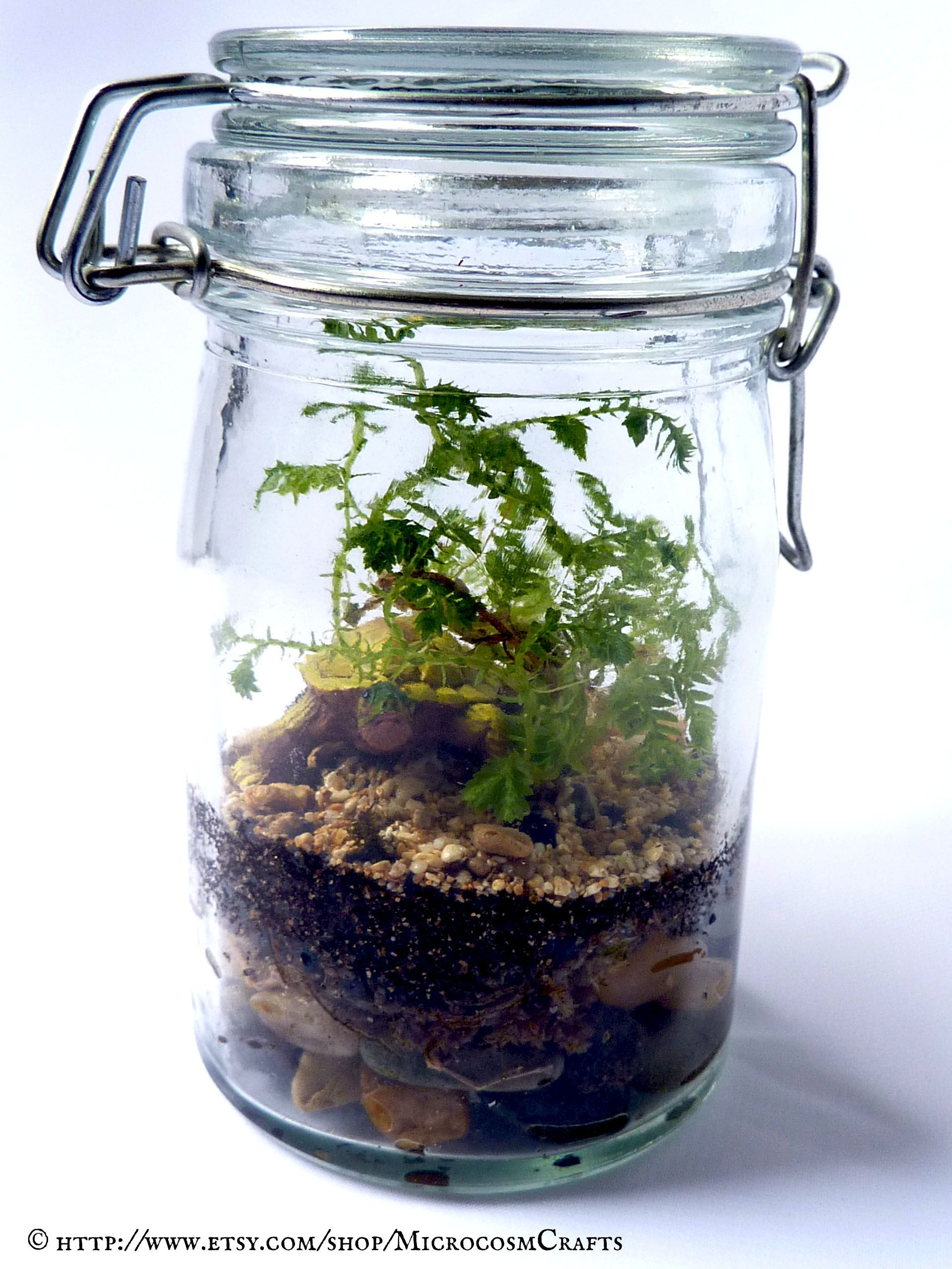 Club moss selaginella canning jar glass terrarium with desert