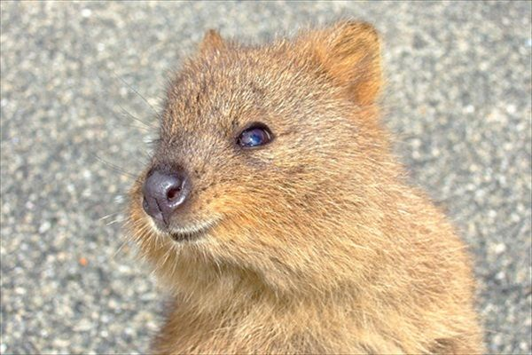 Meet The Quokka The Happiest Animal On Earth Quokka Happy - 15 photos that prove quokkas are the happiest animals in the world