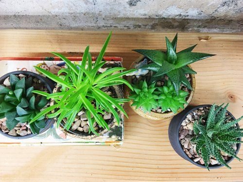 These Are Low Light Succulents They Require Morning To Late Afternoon Better Care For Your By Learning The Difference Between High Vs
