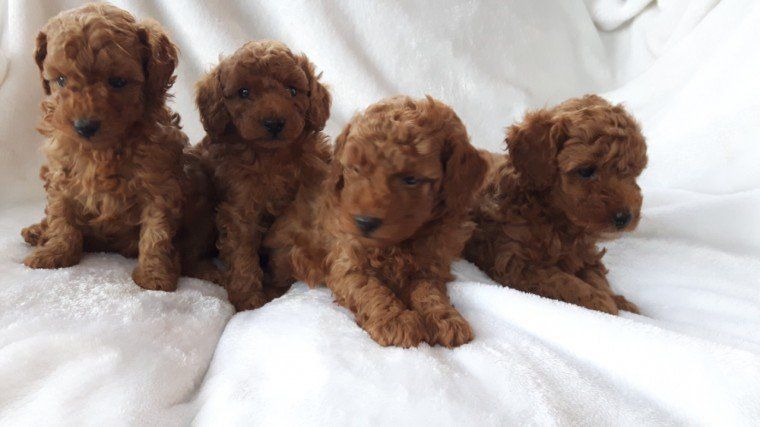Red standard poodle puppies for sale