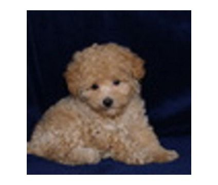 Toy Poodles For Sale In Chicago