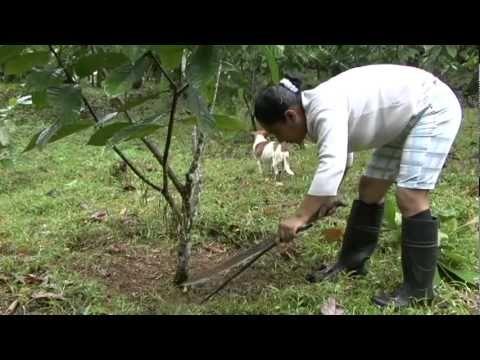 Injertos Acodos y Estacas de Cacao (1de2)