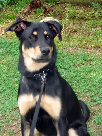 Doberman Shepherd Mix Cute Dogs Doberman Mix Dogs