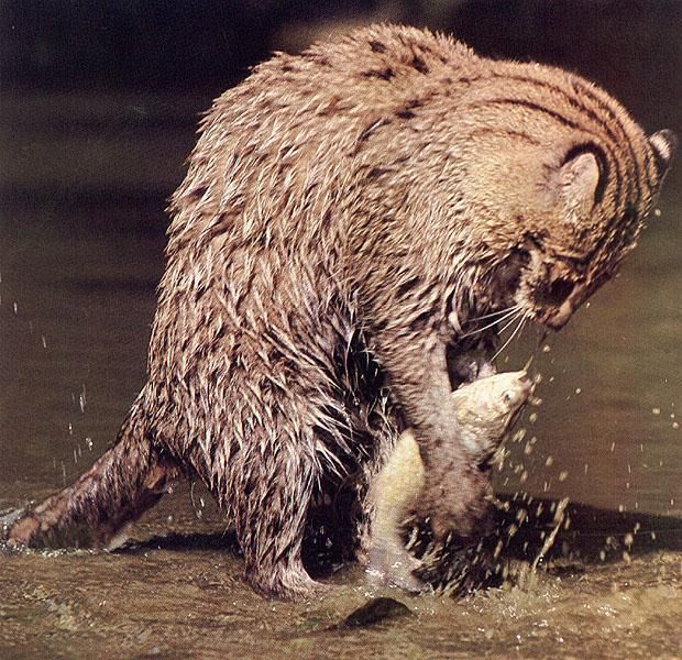 A fishing cat animals pinterest livres sri lanka for Fish videos for cats