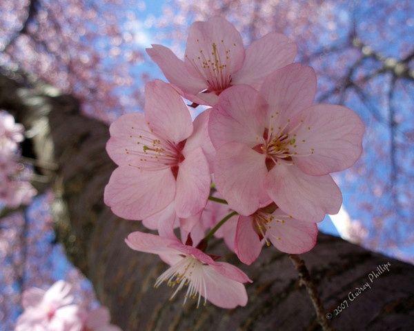Pin By Kylie Wild Heslop Tattoo Artis On Flowers Cherry Blossom Tree Sakura Cherry Blossom Cherry Blossom