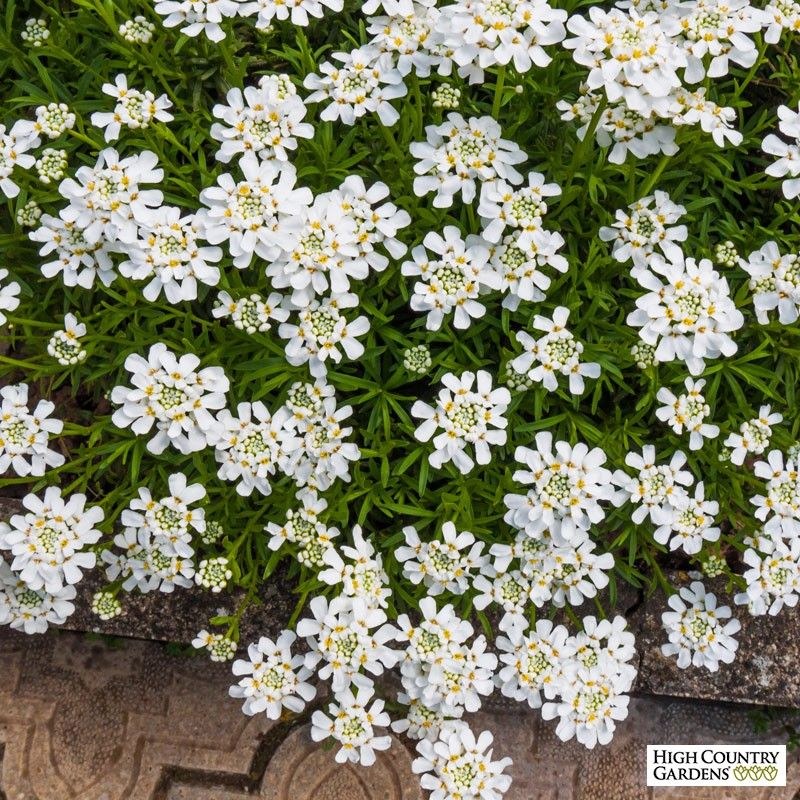 White Iberis Sempervirens Purity Iberis Sempervirens Purity Purity Dwarf Candytuft Ground Cover Plants High Country Gardens Evergreen Groundcover