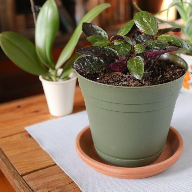 How to Care for a Purple Waffle Plant