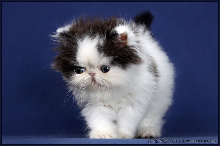 Fuzzy Flat Face Kittens And Puppies Cute Animals Animal Antics
