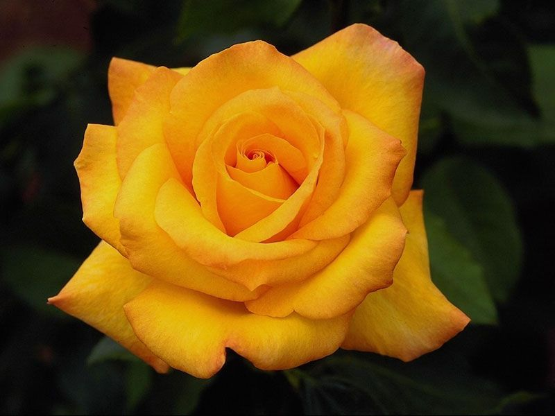 Health Benefits Of Rose Water And Flower Water With Images Yellow Roses Beautiful Roses Rose
