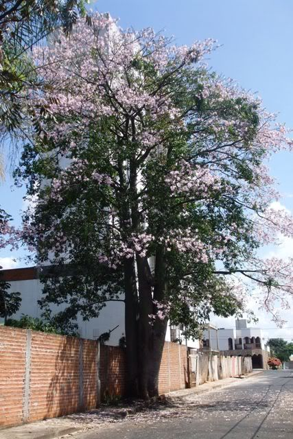 Fotos de árboles nativos de Brasil - Página 2 - Foro de InfoJardín
