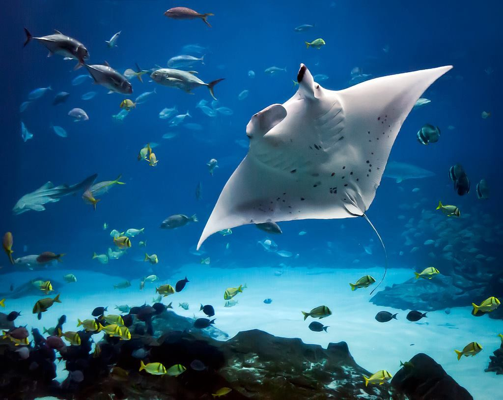 Manta ray swimming underwater with its dorsal fins spread open viewed - Pin By Patty Fong On Sealife Pinterest Marine Life Manta Ray And Animal