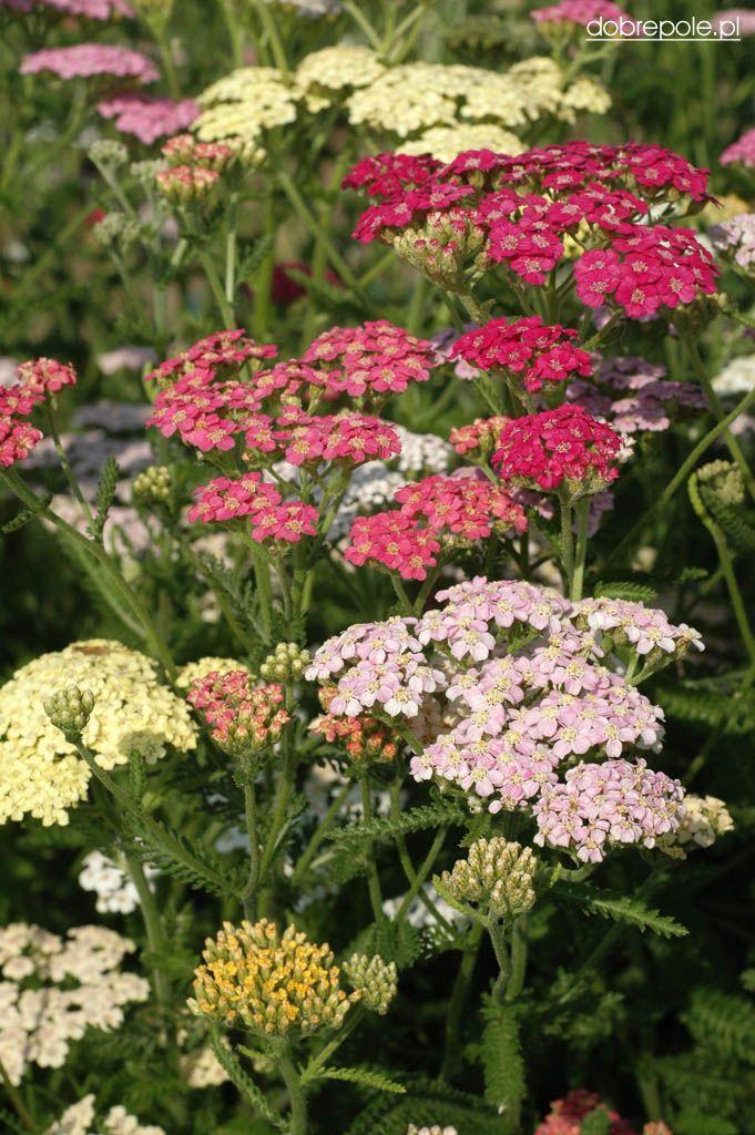 Common Yarrow Colorado Mix Achillea Millefolium Annual Garden Prairie Garden Cottage Garden Design