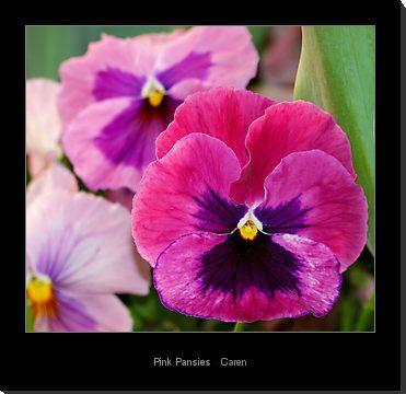 Pink pansies pink pansies by caren redbubble like pinterest pink pansies pink pansies by caren redbubble mightylinksfo