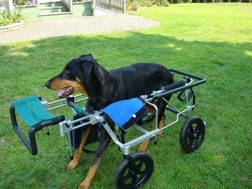Hemivertebrae Dog Wheelchair Dog Health