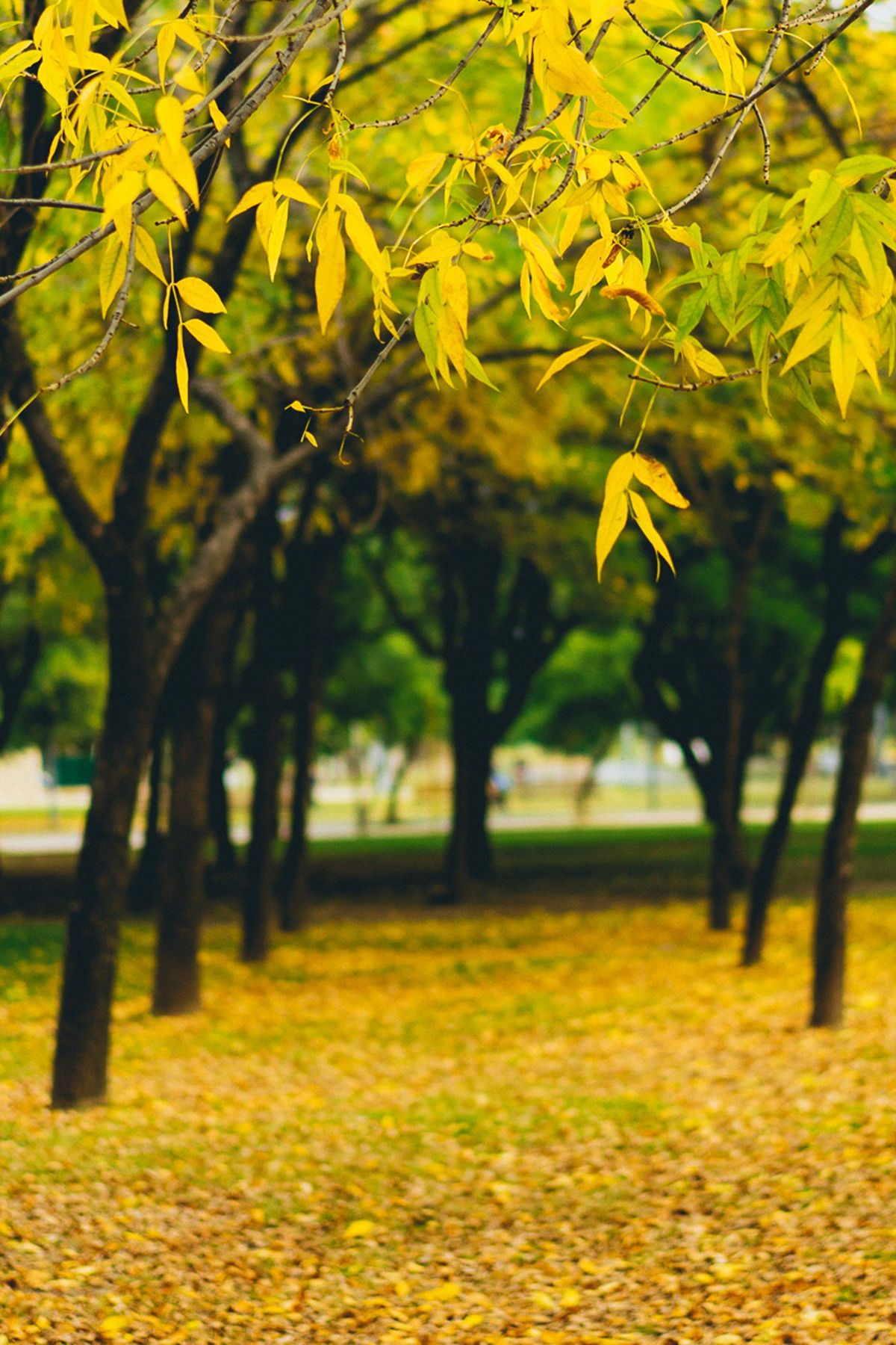 Yellow Leaves In Autumn All Of The Yellow Things Blur Photo Background Background For Photography Dslr Background Images