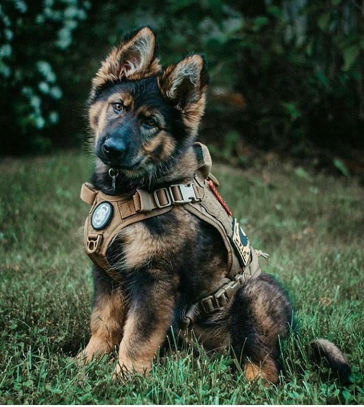 Pin By Louloulorla On Cute 3 German Shepherd Dogs Dogs Military Dogs