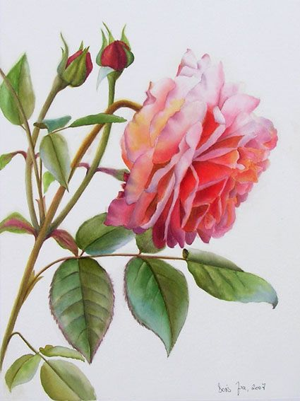 Botanical Watercolor Painting Study With White Background Pink