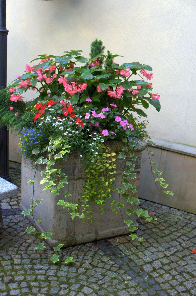 Ogrod Lobzow Ogrod Lobzow Begonia Dragon Begonia Container Gardening