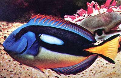 Saltwater Fish Moorish Idols And Tang Fish For Sale Sea Fish Saltwater Fish Tanks Marine Fish