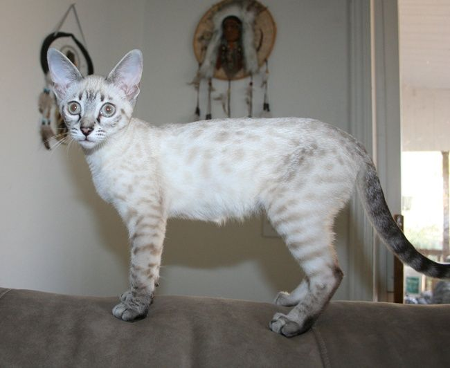Snow Seal Lynx Point Bengal Cat With Images Bengal Cat Asian