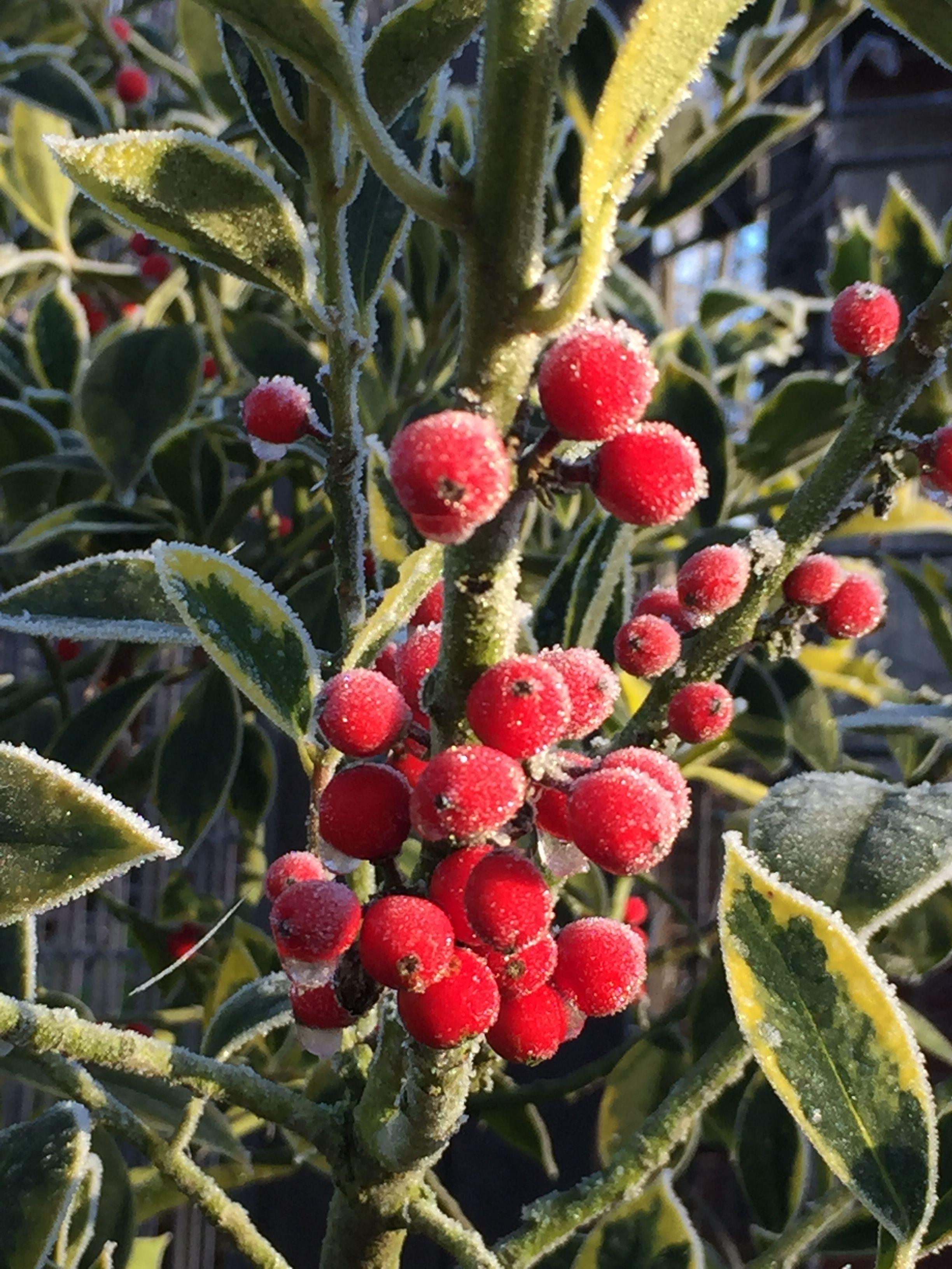 ягоды которые растут на огороде