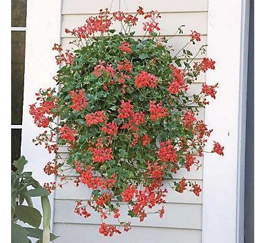 How to entertain with mosquito repelling plants #mosquitoplants mosquito repelli... - Mosquito repelling plants - Tokat Blog #mosquitoplants