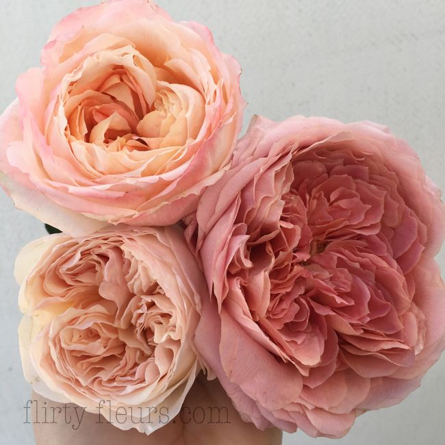 Peach Garden Rose peach garden rosesalexandra roses - top - princess aiko right