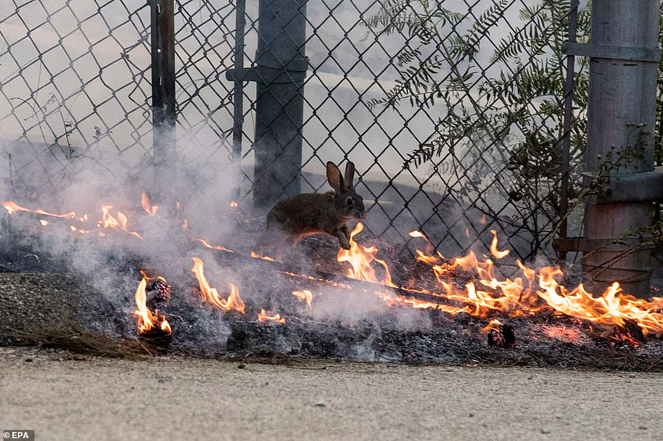 Terrifying Footage Shows Drivers Escaping Wildfires In California Rabbit Jumping Wildlife Photography Jump Over