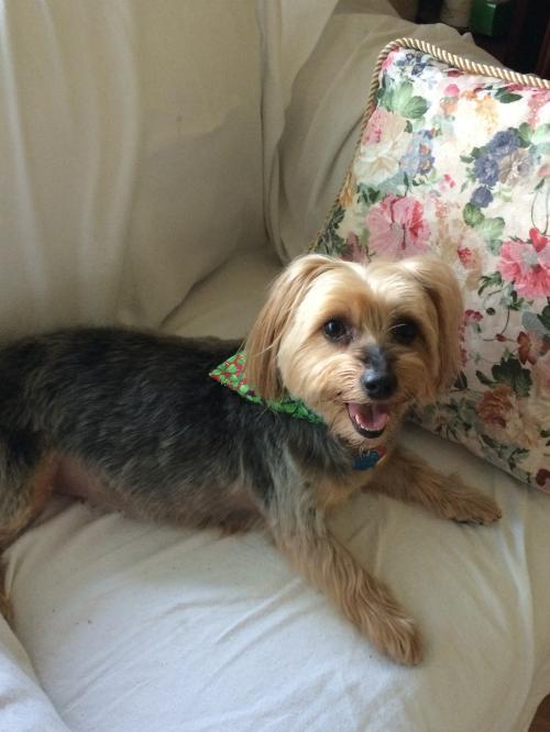 Adopt Lola On Yorkshire Terrier Dog Dogs Adoption