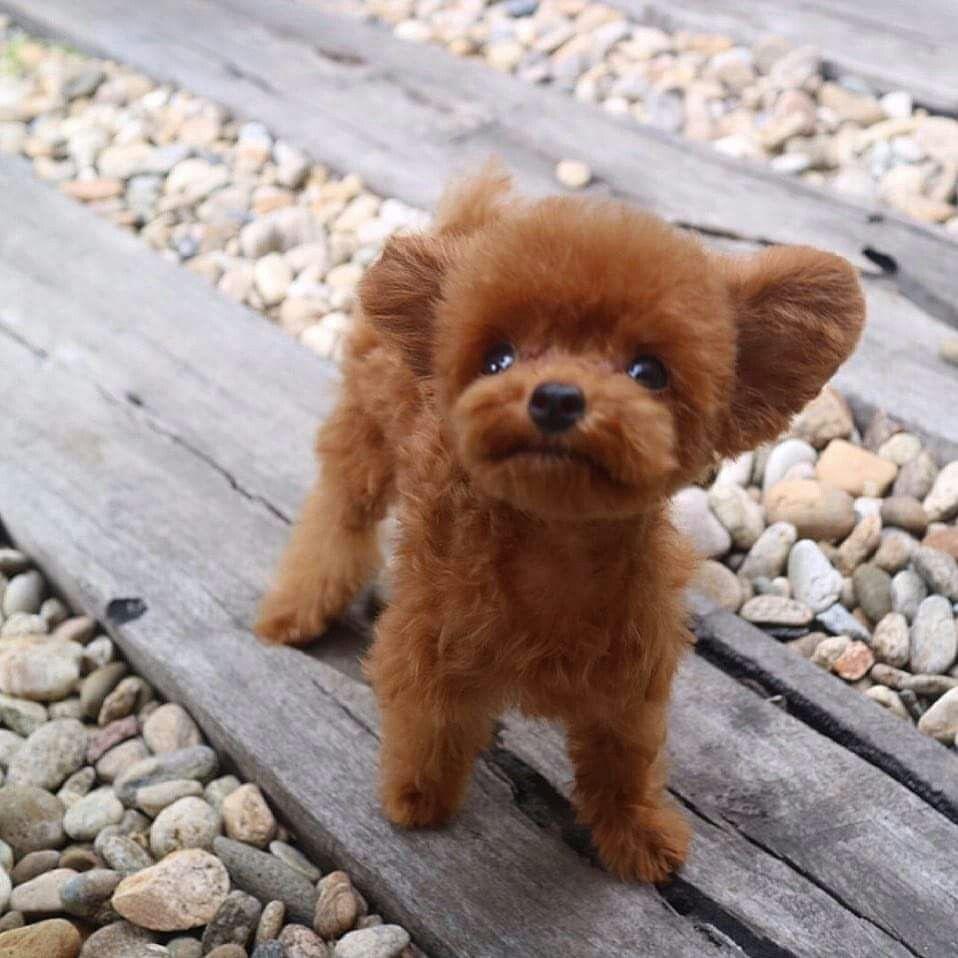 Idee Von Janina Auf Poodle Pics Kleine Hunde Susse Tiere Haustiere
