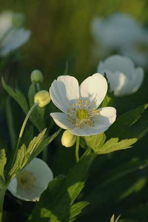 Canada Anemone Anemone Canadensis Attractive Foliage And Bright White Flowers Of Canada Anemone Anemone Cana Plants Beautiful Flowers Garden Native Plants