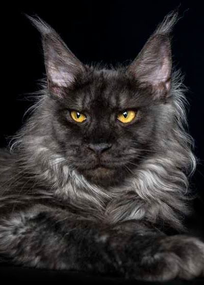 Maine Coon Cat | maine coon, norwegian forest cat ...