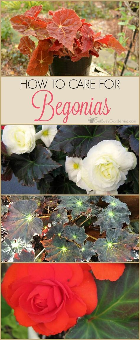 How To Care For Begonia Plants Indoor Vegetable Gardening Begonia Flower Care